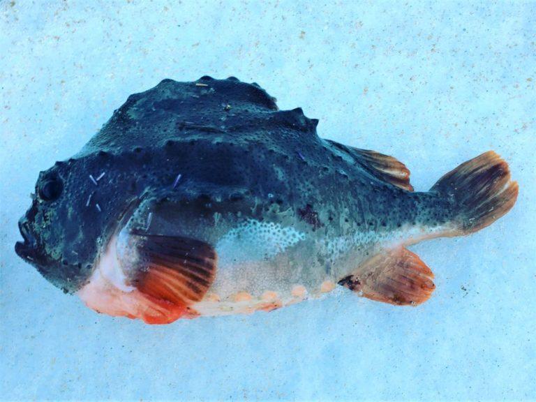 удивительные рыбы баренцева моря териберка
